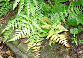 Ferns from Dawson's Yard Sheffield